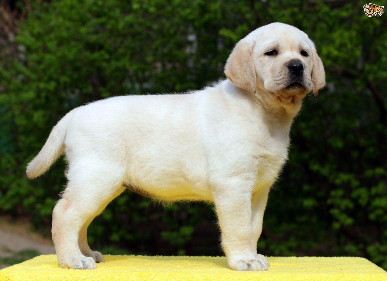 Labrador : à quel âge adopter votre chien ?